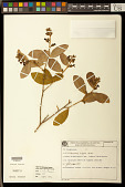 view Diclidanthera elliptica Miers digital asset number 1