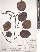 view Monstera adansonii Schott digital asset number 1