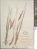 view Calamagrostis neglecta subsp. neglecta digital asset number 1
