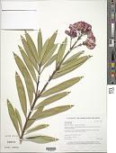 view Nerium oleander L. digital asset number 1