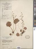 view Saxifraga sarmentosa L. f. digital asset number 1