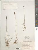 view Danthonia intermedia Vasey digital asset number 1