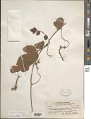 view Paullinia tomentosa Jacq. digital asset number 1