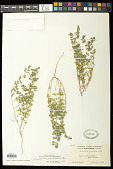 view Euphorbia prostrata Aiton digital asset number 1