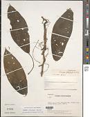 view Acalypha platyphylla Müll. Arg. digital asset number 1