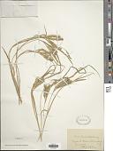view Carex schweinitzii Dewey ex Schwein. digital asset number 1