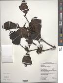 view Phoradendron racemosum (Aubl.) Krug & Urb. digital asset number 1