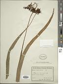 view Niphidium anocarpos (Kunze) Lellinger digital asset number 1