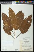 view Sterculia pruriens (Aubl.) K. Schum. digital asset number 1