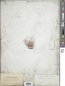 view Eleocharis acicularis (L.) Roem. & Schult. digital asset number 1