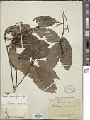 view Irvingia glaucescens Engl. digital asset number 1