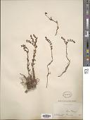 view Dudleya attenuata subsp. orcuttii (Rose) Moran digital asset number 1