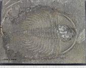 view Olenellus thompsoni (Hall) digital asset number 1