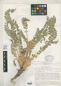 view Astragalus nicolai var. carinipilosus Golosk. digital asset number 1