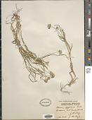 view Dactyloctenium australiensis Scribn. digital asset number 1