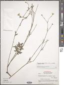 view Ranunculus petiolaris var. standleyi (L.D. Benson) T. Duncan digital asset number 1