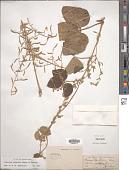 view Dioscorea tomentosa J. Koenig ex Spreng. digital asset number 1