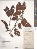 view Litsea philippinensis Merr. digital asset number 1