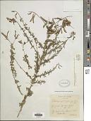 view Adenocarpus complicatus J. Gay digital asset number 1