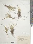 view Carex nelsonii Mack. digital asset number 1