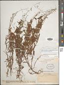 view Zeugites americanus var. mexicanus (Kunth) McVaugh digital asset number 1