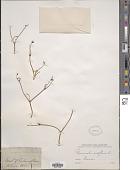 view Ranunculus nodiflorus L. digital asset number 1