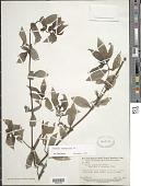 view Diodia sarmentosa Sw. digital asset number 1