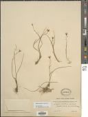 view Lloydia serotina (L.) Salisb. ex Rchb. digital asset number 1