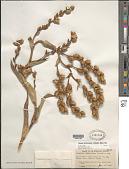 view Catopsis berteroniana (Schult. & Schult. f.) Mez digital asset number 1