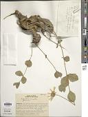 view Calea cuneifolia DC. digital asset number 1