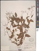 view Gibasis geniculata (Jacq.) Rohweder digital asset number 1