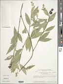 view Palicourea phaneroloma (Standl. & Steyerm.) Delprete & J.H. Kirkbr. digital asset number 1