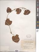 view Dioscorea schimperiana Hochst. ex Kunth digital asset number 1