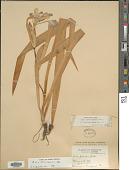view Iris brevicaulis digital asset number 1