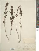 view Rhinanthus minor subsp. groenlandicus (Chabert) Neum. digital asset number 1