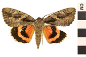 view Sweetheart Underwing digital asset number 1
