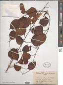 view Dioscorea baya De Wild. digital asset number 1