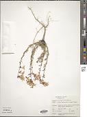 view Ipomopsis aggregata (Pursh) V.E. Grant digital asset number 1