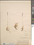 view Festuca pinifolia (Hack. ex Boiss.) Bornm. digital asset number 1