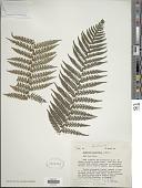 view Dicksonia antarctica Labill. digital asset number 1