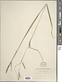 view Carex gracillima Schwein. digital asset number 1