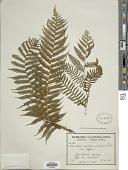 view Cyathea costaricensis (Kuhn) Domin digital asset number 1