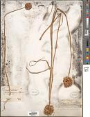 view Allium rotundum L. digital asset number 1
