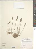 view Polypogon interruptus Kunth digital asset number 1