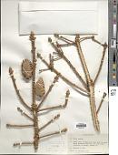 view Picea pungens Engelm. digital asset number 1