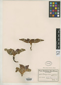 view Androcymbium pulchrum Schltr. & K. Krause digital asset number 1