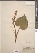 view Monochoria korsakowii Regel & Maack digital asset number 1