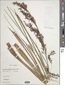 view Costularia melleri (Baker) C.B. Clarke ex Cherm. digital asset number 1