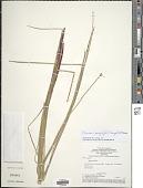 view Eleocharis pachystyla (C. Wright) C.B. Clarke digital asset number 1