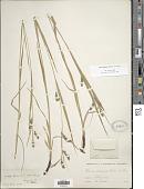 view Carex davisii Schwein. & Torr. digital asset number 1